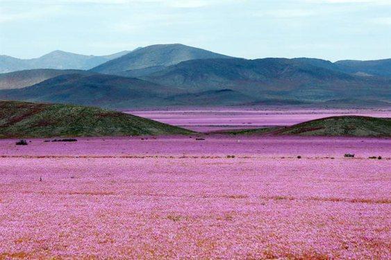 desierto-atacama luego de las precipitaciones que han mojado estos últimos meses la hostil tierra norteña de Chile han propiciado el %22florecimiento más espectacular de los últimos 18 años%22